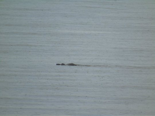 3 Otters playing in the Bay