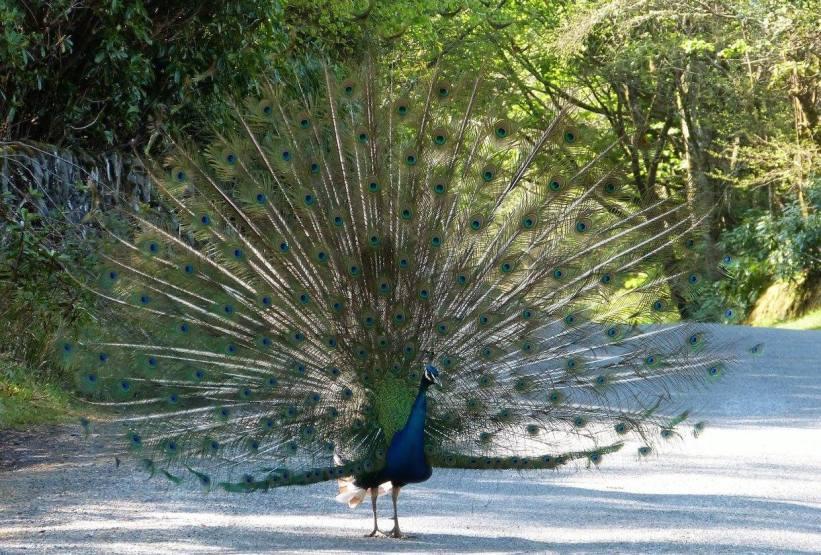 Kildalton Peacock