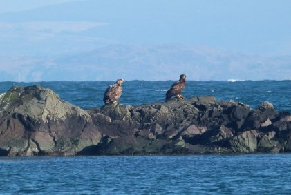 Sea/ White Tailed Eagles