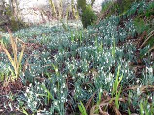 February Snow Drops