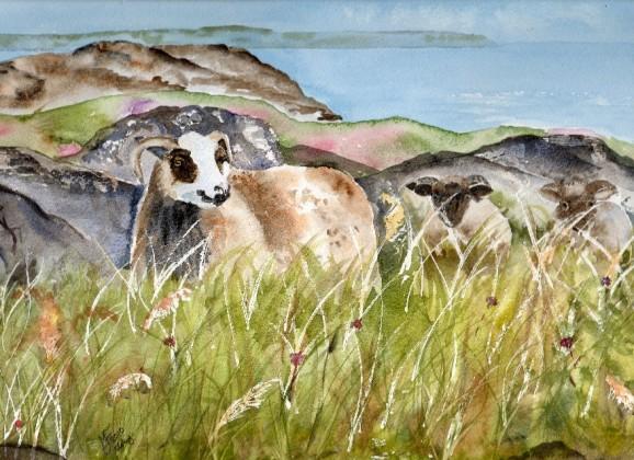 Icelandic (Panda) sheep Islayshrunk